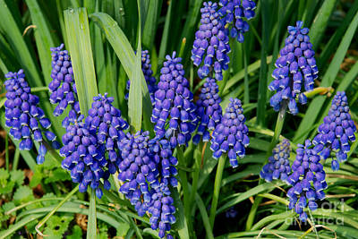 Photograph - Grape Hyacinth by Mark Dodd