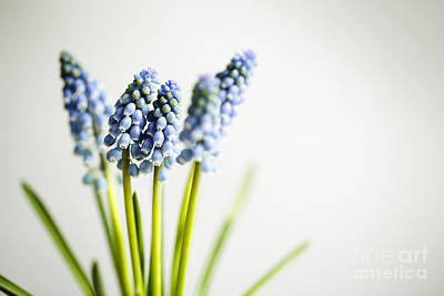 Hyacinth Photograph - Grape Hyacinth by Nailia Schwarz