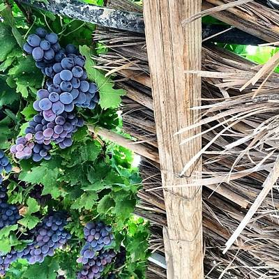 Grapes Photograph - Grape Vines #grapes #vines by Nikita Shah
