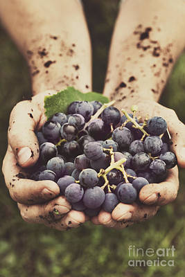 Grapes Harvest Art Print by Mythja  Photography