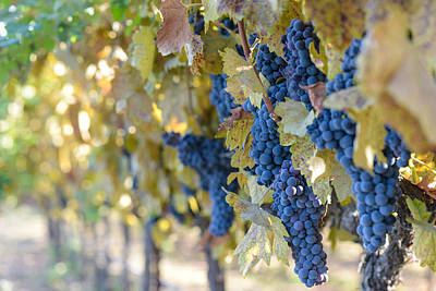 Wine Photograph - Grapes On The Vine by Brandon Bourdages