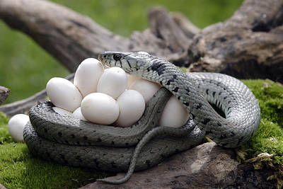 Grass Snake With Eggs Art Print by M. Watson