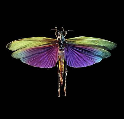 Grasshopper Wall Art - Photograph - Grasshopper by Patrick Landmann/science Photo Library