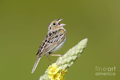Photograph - Grasshopper Sparrow by Jim Zipp