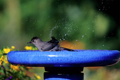 Bird Bath Photograph - Gray Catbird (dumetella Carolinensis by Richard and Susan Day