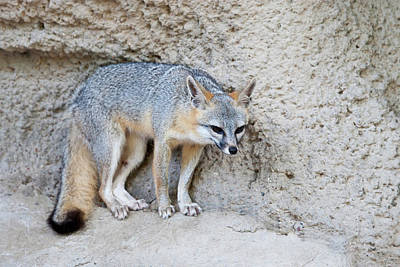 Ledge Photograph - Gray Fox (urocyon Cinereoargenteus by Larry Ditto