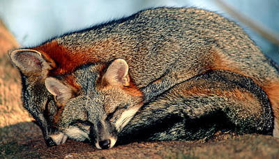 Photograph - Gray Foxes by Millard H. Sharp