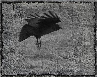 American Crow Photograph - Gray by Gothicrow Images