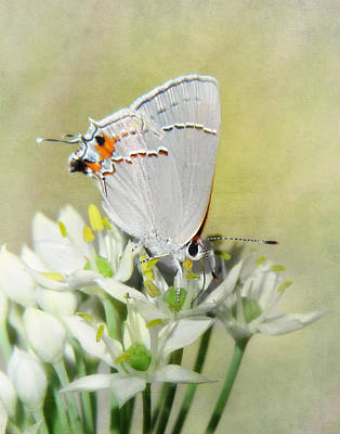 Photograph - Gray Hairstreak Butterfly IIi by David and Carol Kelly