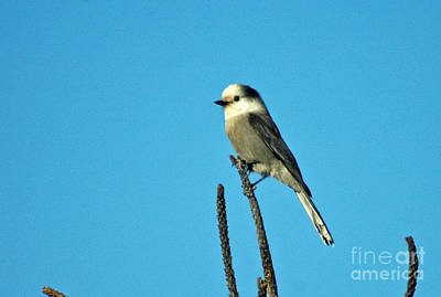 Photograph - 1050a Gray Jay by NightVisions