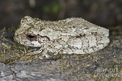 Gray Treefrog Art Print by Clay Coleman