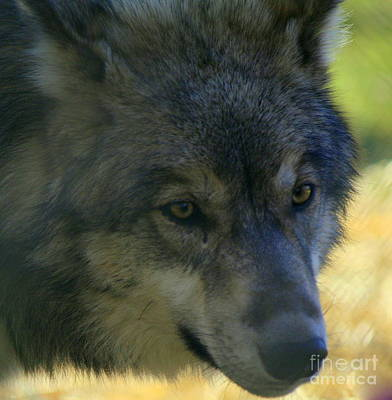 Wolve Photograph - Gray Wolf by Neal Eslinger