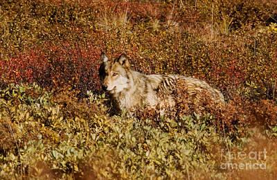 Gray Wolf Art Print by Ron Sanford