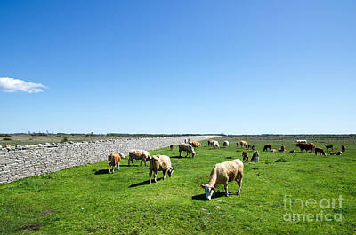 Photograph - Grazing Cattle by Kennerth and Birgitta Kullman