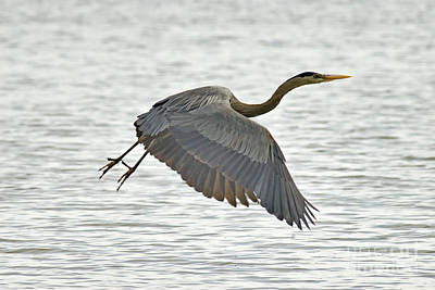 Photograph - Great Blue Heron  by Andrea Kollo