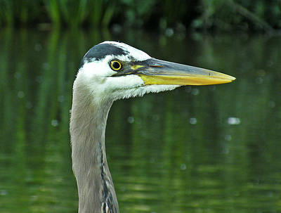 Photograph - Great Blue Heron by Brian Chase