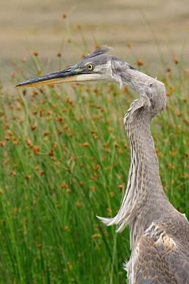 Photograph - Great Blue Heron Closeup by Lara Ellis