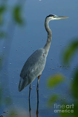 Photograph - Great Blue Heron I by Butch Lombardi