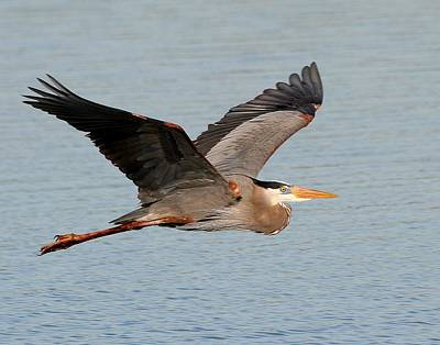Photograph - Great Blue Heron In Flight by Ira Runyan