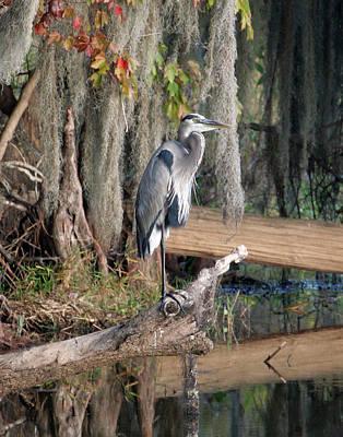 Great Blue Heron Art Print by Jeff Wright