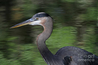 Photograph - Great Blue Heron by Kevin McCarthy