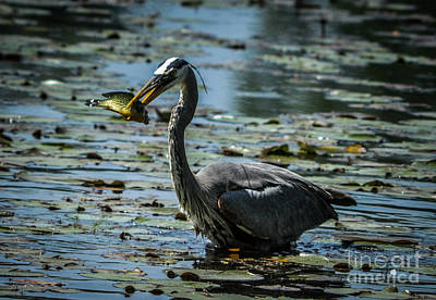 Anchor Down Royalty Free Images - Great Blue Heron Royalty-Free Image by Ronald Grogan