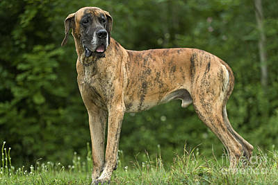 Great Dane Photograph - Great Dane by Jean-Michel Labat