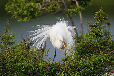 Great Egret Photograph - Great Egret (ardea Alba by Larry Ditto