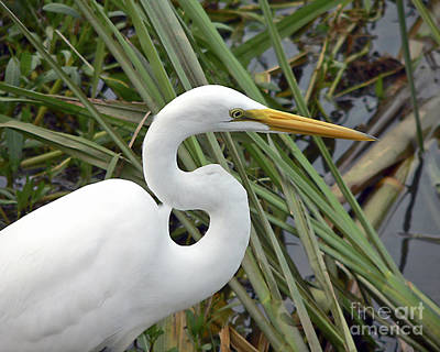 Al Powell Photograph - Great Egret Close Up by Al Powell Photography USA