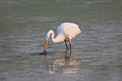 Photograph - Great Egret Fishing by John Dart