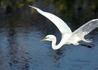 Great White Heron Photograph - Great Egret In Flight by Bob Gibbons