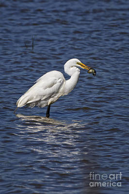Photograph - Great Egret by Ronald Lutz