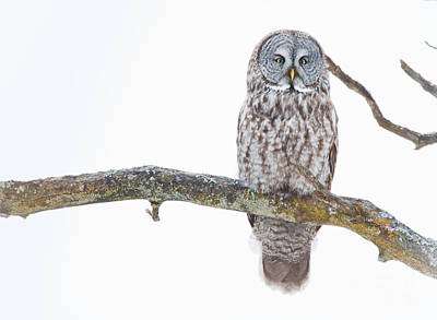 Nature Photograph - Great Gray Owl by Cheryl Baxter