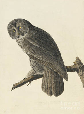 Animals Drawings - Great Gray Owl by Celestial Images