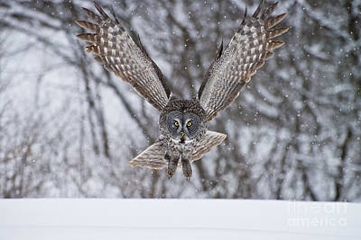 On Trend At The Pool - Great Gray Owl by Michael Cummings
