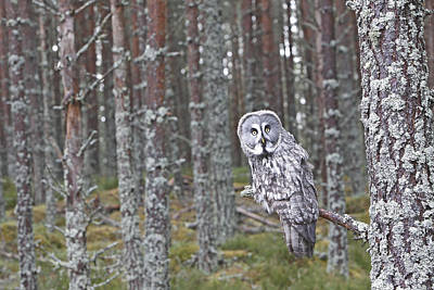 Great Grey Owl Print by M. Watson