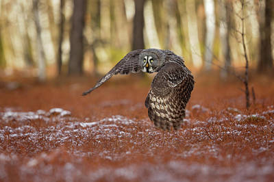 Flying Photograph - Great Grey Owl by Milan Zygmunt