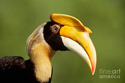 Hornbill Photograph - Great Hornbill by Art Wolfe