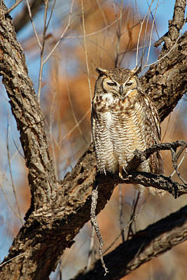 Great Horned Owl (bubo Virginianus Art Print by Larry Ditto