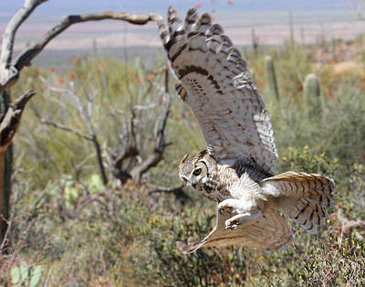 Fruits And Vegetables Still Life - Great Horned Owl In Flight by Old Pueblo Photography