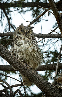 Photograph - Great Horned Owl by Michael Chatt