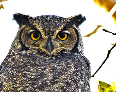 Owl Photograph - Great Horned Owl  by Rob Mclean