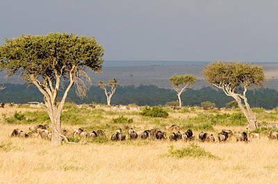 Great Migration Of Wildebeests, Masai Art Print