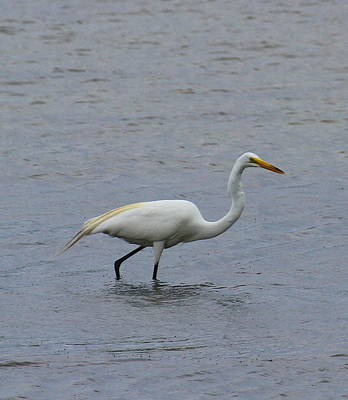 Crane Photograph - Great White Egret 15 by Cathy Lindsey