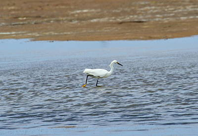 Scenic Photograph - Great White Egret 24 by Cathy Lindsey