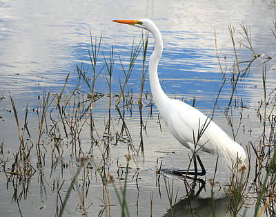 Photograph - Great White Egret by Ira Runyan