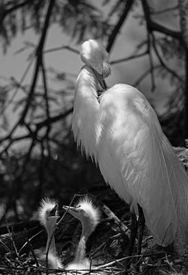 Great White Egret Mom And Chicks - Hey Hungry Chicks Down Here Original