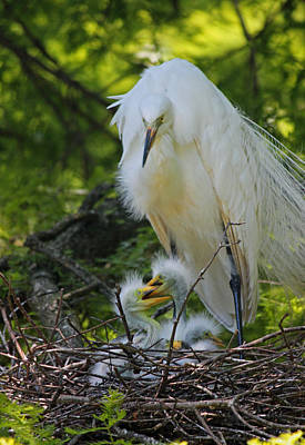Great White Egret Mom And Chicks V Original by Suzanne Gaff