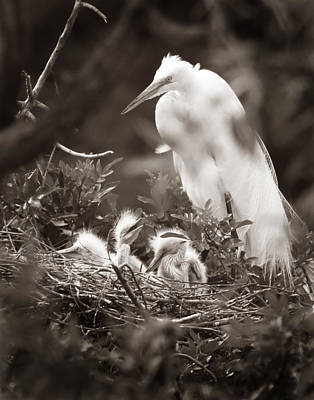 Photograph - Great White Egret With Chicks by Joseph G Holland