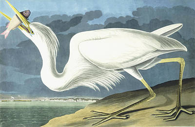 Heron Painting - Great White Heron by John James Audubon